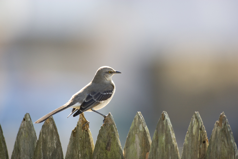 Mississippi-state-bird-mockingbird